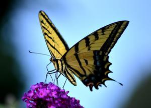 Бабочка залетела в дом: приметы, народные суеверия